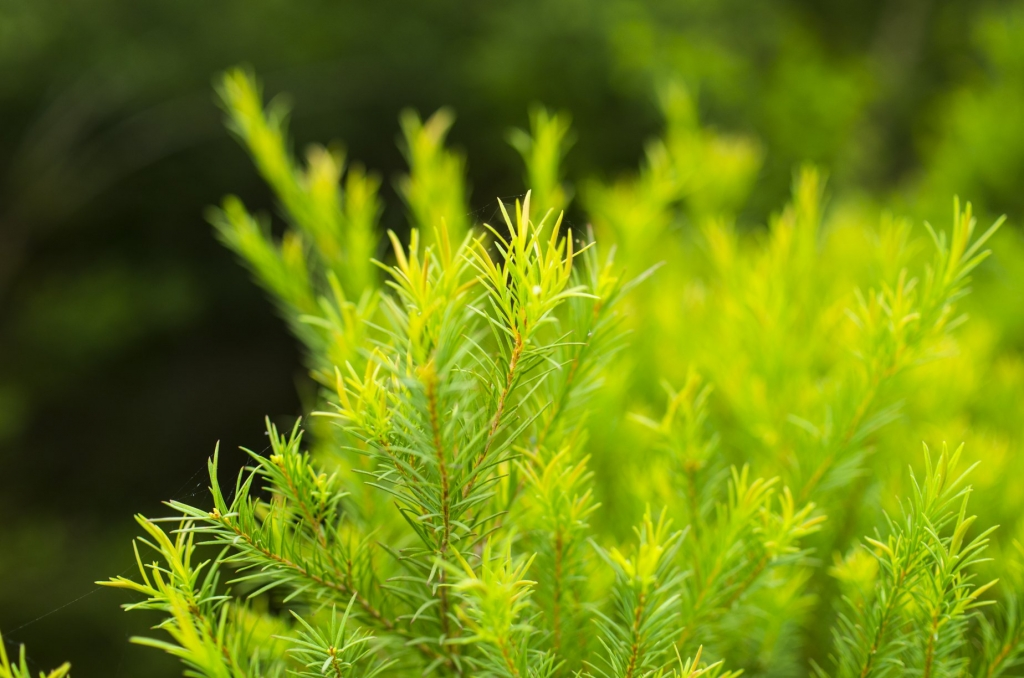 NATTo_plantation_Trea Tree Essential oil